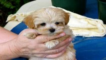 This is Cindy   Cindy is a Maltese/Shih Tzu cross miniature schnauzer