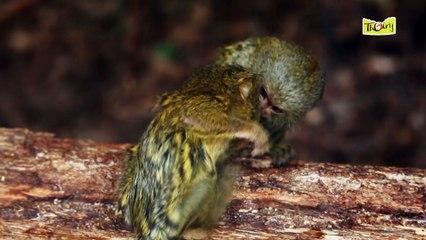 Le ouistiti Pygmée, l'un des plus petits primates !