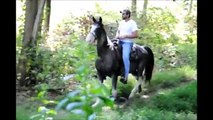 Registered Tennessee Walking Horse For Sale***SOLD-Congratulations to Debbie!***