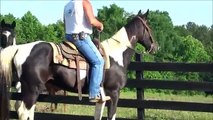 Rocket FEARLESS and FUN Trail Horse Deluxe Tennessee Walking Horse For Sale