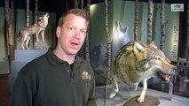 Wer sieht besser - der Wolf oder der Mensch? Sehvermögen Sehfähigkeit Wölfe Hunde Tiere