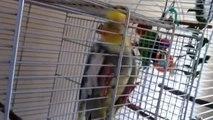 AMAZING Love bird lying on its back! - Mothballjim