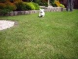 Malteser Welpe /  Maltese Puppy