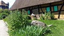 Une Cigogne blanche (Ciconia ciconia)  a l'Ecomusée d'Alsace, Ungersheim, Haut-Rhin