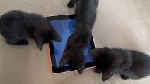 Buzz : Quand d'adorables chatons noirs s'attaquent à un iPad, que se passe-t-il ? ( Black Kitten VS iPad ) !