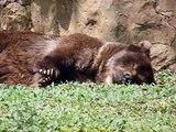 2012 Colombia   Cali, ZOOlogico, Oso Pardo, Ursus arctos, Bear, Ours