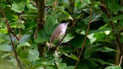 Blackcap Resource   Learn About, Share and Discuss Blackcap