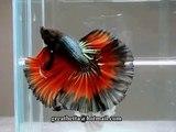 { Sold out } Betta Splendens : (0711-19) Black Fire Halfmoon Singletail Male.mp4