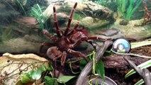 Rare footage of Goliath Bird Eater Tarantula
