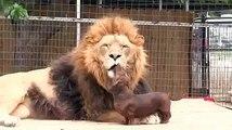 petit chien courageux ne pas peur de ce lion
