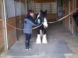 Well Trained Imported Gypsy Vanner Ride, drive, & Trick Trained