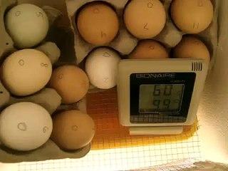 Chicken Eggs in Homemade Incubator