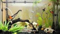 Aquarium with Platies and guppys
