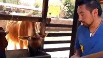 Cómo generan leche las vacas jersey