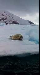 seal pinniped paradise bay west antarctica antarctica south pole