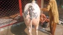 Bath time Bull enjoying taking bath in sunlight Full mahool Fatehjang bulls 2015