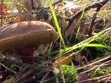 Na grzyby jadalne - Podgrzybek zajączek - grzybobranie - zbieramy grzyby