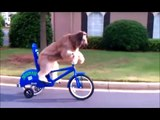 funny dog  compilation   best pets agility   amazing dogs talent   canine tricks 720p
