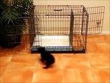 How To Potty Train A Schnorkie Puppy - Snorkie House Training Tips - Housebreaking Schnorkie Puppies