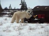 Polar Bear versus Snowmobile - Churchill, Manitoba