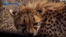 Cheetah attacked reporter  Cheetah attack the people!   Animal Attacks on Human