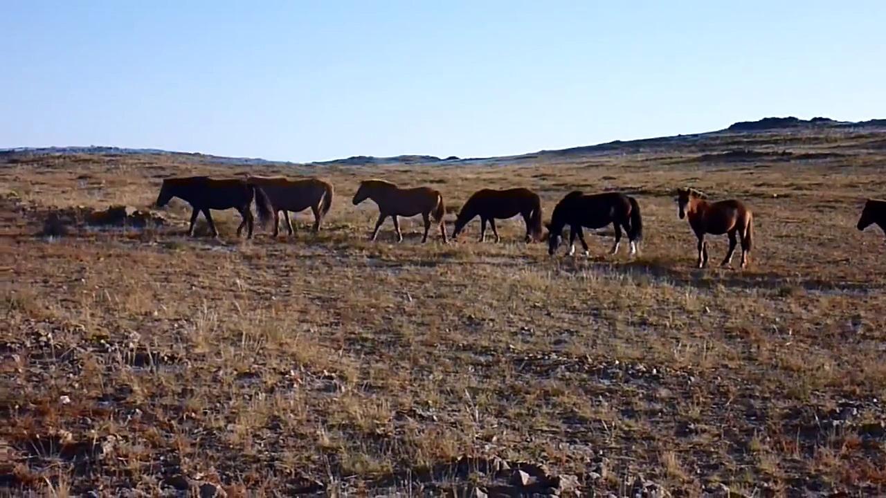 MONGOLIAN HORSES   Przewalski's Horses   Mongolian Адуу, aduu   Jürgen Schreiter Trekking Tours