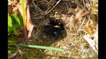 Chant du grillon  des champs ou grillons champêtre.( Gryllidae )