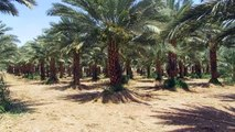 Dates plantation in Israel and the Jordanian border (border near Eilat and Aqaba)