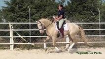 EMBRUJO - CABALLO LUSITANO - Golden Horse - Caballo Dorado