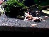 CRS - Crystal Red Shrimp - 水晶蝦 - 01