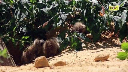 Le suricate, une mangouste sociable qui vit en famille !