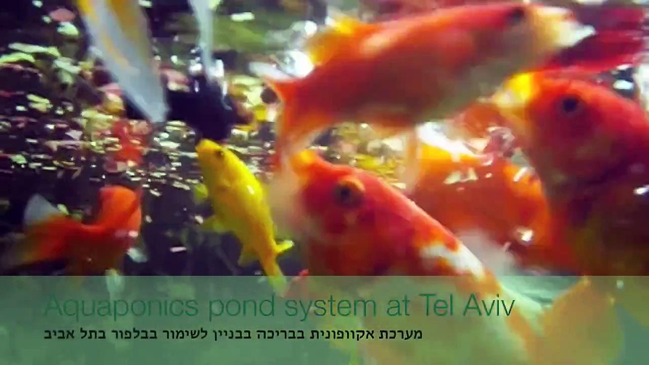 GreenSpot fish pond Aquaponics גרינספוט אקוופוניקה בבריכת דגים