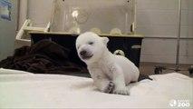 シロクマの赤ちゃん、はじめてのヨチヨチ