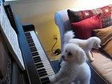Un chien joue du piano