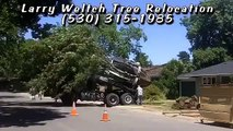 Transplanting Big Trees - Larry Weltch Tree Relocation Expert