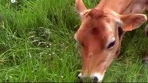Jerseyfokkerij - De koeien