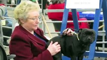 BULLIES & STAFFIES Dogshow at England
