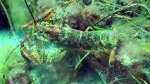 Lobsters, pipefish and medusa / Homards, syngnathe et méduse