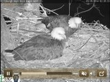 Dad makes a nest visit at 2:20 AM night after eaglet hatches