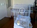 beyaz muhabbet kuşu 2