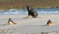 Scène palpitante d'un lion de mer qui pourchasse des pingouins sur une plage