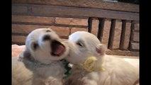 Süße Malteser Hundewelpen (4-5 Wochen alt) | Malteser Hundemama (Teil 5) ◉◉◉