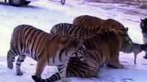 [Animal planet] Lions VS Tigers Battle Full documentary wildlife nature 2015