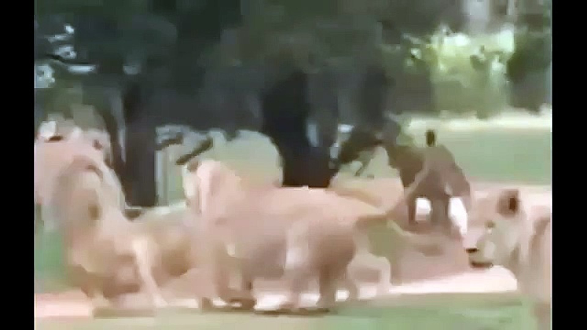 Wild animals - lions vs lions fight , When Animal Attack , Lion Attack Documentary