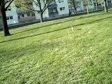 2012_03_28 , OUTDOOR mit meiner JACK-RUSSEL-TERRIER-Hündin (dog playing) Baya + Tennisball