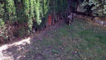 Sphynx cats playing in the new garden