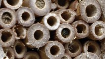 Solitary Bees Using Bee Tubes