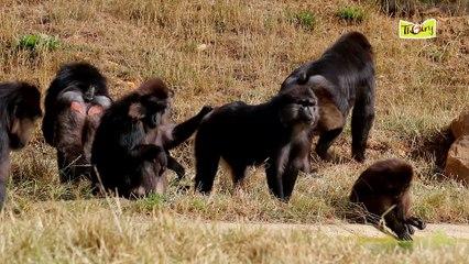 Les macaques de Tonkéan, moins de stress grâce à l'épouillage !