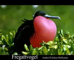 Fregattvogel Vogel Birds Tiere Animals Natur SelMcKenzie Selzer-McKenzie