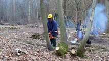 Tree felling using a standard cut and lever, with Husqvarna 346xp chainsaw.